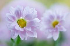 chrysanthemum 0887 (junjiaoyama) Tags: japan flower chrysanthemum mum pink bokeh winter macro