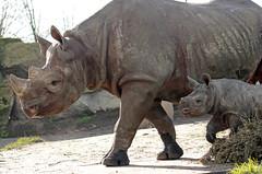 Black Rhino Naima and Mara  Blijdorp BB2A3305 (j.a.kok) Tags: rhino rhinoceros zwarteneushoorn neushoorn blackrhinoceros blackrhino africa afrika animal blijdorp herbivore babyneushoorn baviaan babyrhino mara mammal zoogdier dier naima