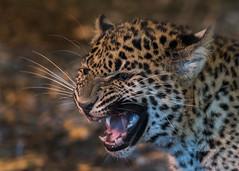 Sri Lankan Leopard Cub (muppet1970) Tags: srilankanleopard leopard cub growl cat bigcat banhamzoo zoo captive
