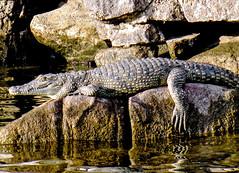 Auf dem Nil (friedls.mixed.pixels) Tags: onthenile ägypten egypt nil nile nlikorokodil nilecrocodile landschaft landscape