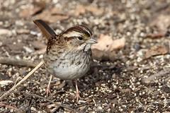 White-throated Sparrow (jlcummins - Washington State) Tags: yakimaareaarboretum yakimacounty washingtonstate bird sparrow canon tamronsp150600mmf563divcusd wildlife fauna nature birding whitethroatedsparrow