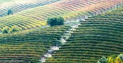 Vins in Barolo (FotoRoar2013) Tags: 2015 italy piemonte barolo fotoroar2013 canon 5dmk3 grapes