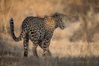 Leopard | Panthera pardus | तेंदुआ in Gir National Park