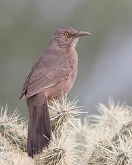 Curve-billed Thrasher Veterans oasis az (mandokid1) Tags: canon canon500f4 1dx birds arizona
