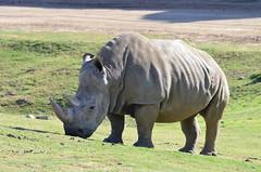 DSC_4360 (Andrew Nakamura) Tags: animal mammal rhino rhinoceros whiterhinoceros southernwhiterhinoceros southernwhiterhino grazing sandiegozoosafaripark safaripark escondido