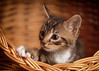 'Albi' (Jonathan Casey) Tags: rescue norfolk catchums tabby basket nikon d810 105mm f28 vr