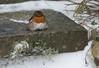 fluffy robin step snow-0195 (Nick Vidal-Hall) Tags: fluffy cute robin snow step
