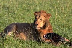 Le lion et sa proie (Kaïyah) Tags: lion mammal predator carnivor gnou prey wildbeest heating plain masaimara kenya africa bigcat