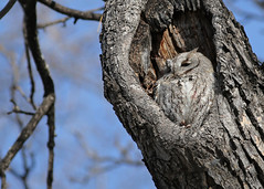 Eastern Screech Owl...#5 (Guy Lichter Photography - 3.7M views Thank you) Tags: owleasternscreetch canon 5d3 canada manitoba winnipeg wildlife animals birds owl owls