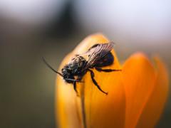 Good Luck! (ursulamller900) Tags: pentacon2829 extensiontube 12mm makroring wildbiene bee yellow krokus crocus mygarden