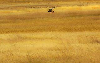 Elk Bull Sitting in a Field