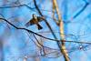 Tufted titmouse (cricketsblog) Tags: melissamcmasters taxonomy:kingdom=animalia animalia taxonomy:phylum=chordata chordata taxonomy:subphylum=vertebrata vertebrata taxonomy:class=aves aves taxonomy:order=passeriformes passeriformes taxonomy:family=paridae paridae taxonomy:genus=baeolophus baeolophus taxonomy:species=bicolor taxonomy:binomial=baeolophusbicolor tuftedtitmouse baeolophusbicolor tuti mésangebicolore carbonerocopetón taxonomy:common=tuftedtitmouse taxonomy:common=tuti taxonomy:common=mésangebicolore taxonomy:common=carbonerocopetón
