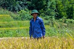 Pracují i muži!:-) (zcesty) Tags: vietnam26 sklizeň rýže pole domorodci vietnam dosvěta làocai vn