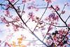 IMGL0625 (GARNETSKY2006) Tags: 180304sakura 5d3 sakura cherryblossom 50mmf12