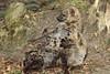 Young Hyena's (K.Verhulst) Tags: hyena hyenapups hyenapup amersfoort amersfoortzoo dierenparkamersfoort