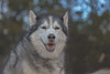 Timber's Smile (Cruzin Canines Photography) Tags: animal animals canon canoneos5ds canon5ds canine 5ds eos5ds tamron tamron90mmf28dimacro11vcusd dog dogs domestic domesticanimal mammal male boy portrait smile pet pets husky huskies alaskanhusky siberianhusky timber outdoors outside nature naturallight naturepreserve palmerpark colorado coloradosprings cute funny