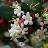 Murraya paniculata (Mauricio Mercadante) Tags: taxonomy:binomial=murrayapaniculata murrayapaniculata murraya rutaceae lagosul