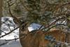 Cerf furtif... (Patrice Baud) Tags: reddeer cerf neige forêt cervus cerdagne pyrénées montagne sauvage nikon d7100 300mm
