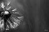DENTDELION S'inventent un mode à part-1 (FLOCVROFF) Tags: dentdelion gouttes macro 50mm canon nature pluie rosee dandelion