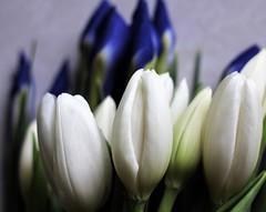 The Secret Garden (Sarah_ES) Tags: macromondays tulips white flowers macro my favorite novel myfavoritenovelfiction