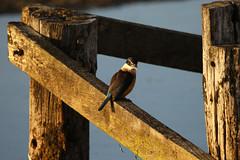 Kingfisher ~ Pauatahanui Wildlife Reserve (whitebear100) Tags: kingfisher porirua pauatahanui pauatahanuiinlet pauatahanuiwildlifereserve nz newzealand northisland 2018