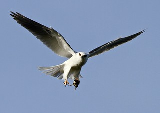 White tailed kite with mouse