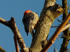 Red-bellied Woodpecker (Dendroica cerulea) Tags: redbelliedwoodpecker melanerpescarolinus melanerpes melanerpini picinae picidae picides pici piciformes neoaves neognathae neornithes aves bird birds woodpecker winter ayresbeach redsmarina highlandpark middlesexcounty nj newjersey