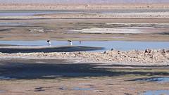 147 Laguna de Chaxa+ los flamencos (roving_spirits) Tags: chile atacama atacamawüste atacamadesert desiertodeatacama désertcôtier küstenwüste desiertocostero coastaldesert