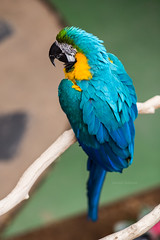 """""""Moche"""" - Blue and Gold Macaw (Jerrad Johnson) Tags: parrot macaw bird bokeh blur zeiss 135mm sonnar canon 6d zoo colorful"""