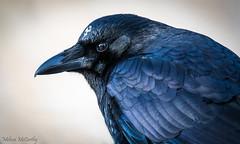 American Crow Portrait (Melissa M McCarthy) Tags: americancrow crow bird black animal nature neutral dark portrait face head closeup wildlife whitefeathers blue spiritanimal stjohns newfoundland canada canon7dmarkii canon100400isii