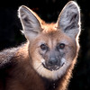 Alert (helenehoffman) Tags: canid wildlife conservationstatusnearthreatened manedwolf sandiegozoo southamerica mammal nature animal