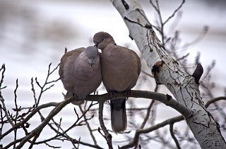 Care and Affection:  Dove Pair Perched on an Aspen Tree- II