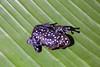hyperolius pardalis sur le dos (Délirante bestiole [la poésie des goupils]) Tags: gabon frog amphibians grenouille africa animal