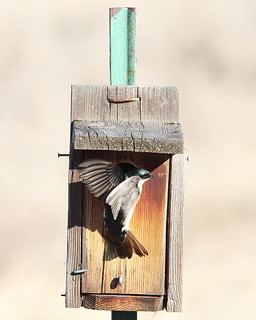 Tree Swallow, Tachycineta bicolor on nest box