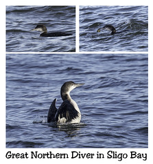 Great Norther Diver (Matts__Pics) Tags: greatnortherndiver seabird diver sligobay crabs atlanticocean wildatlanticway