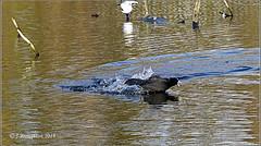 Wolvercote Lake_2018_11 (johnzsv) Tags: coot wildlife wildfowl wolvercote oxfordshire oxford olympus outdoor em1mk2 lake drama