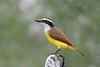 Great Kiskadee (Alan Gutsell) Tags: color birds birding wildlife nature south texas photo alan statepark greatkiskadee flycatcher