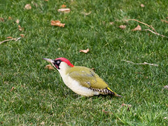 European green woodpecker / Grünspecht (Picus viridis) (ralph_behrens) Tags: 2018 europeangreenwoodpecker grünspecht mzuiko300mmf4pro omdem1markii oly olympus picusviridis ralphbehrens winter