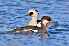 Smew (Mergellus albellus) (GrahamParryWildlife) Tags: grahamparrywildlife sigma 150600 sport 150 600 canon 7d mkii outdoor animal depth field mk2 uk kent rspb viewing photo flickr add new sunlight up blue dof kentwildlife dungeness sky feathers wings eye reeds cover timid bird pandaeye smew male scarce rare uncommon sawbill duck water lake red head