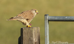 Female Kestrel brunch (jo.angell) Tags: kestrel bird prey nature buckinghamshire wild wildlife vole feeding