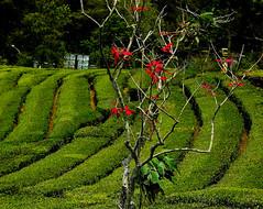 "INDONESIEN, Java, Teeplantagen am Vulkan - Tangkuban  Perahu, 17168/9668 (roba66) Tags: reisen travel explorevoyages urlaub visit roba66 asien südostasien asia eartasia ""southeastasia"" indonesien indonesia ""republikindonesien"" ""republicofindonesia"" indonesiearchipelago inselstaat java tee teeplantageteetea teaplantation teaplant teagarden teaterrace plantation flora natur nature naturalezza landschaft landscape paisajlembangbandung"