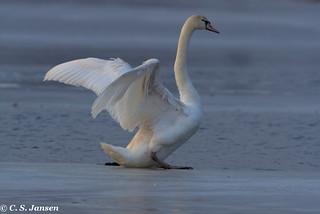 Mute swan - Cygnus olor - Knobbelzwaan