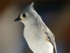 Tufted Titmouse 1-7-2018-1 (Scott Alan McClurg) Tags: animalia aves bbicolor baeolophus chordata neoaves neognathae neornithes paridae passeri passerida passeriformes animal bird bokeh flickrbirds forest green life nature naturephotography perch perching portrait songbird suburbs titmouse tree tufted tuftedtitmouse wild wildlife winter yard