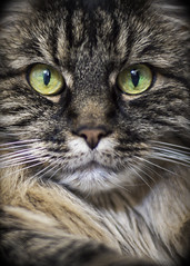 Feline (apg_lucky13) Tags: 50mm canon jdc jasdaco m2 missy cat eosm2 f14 feline fur jason kitty whiskers ca usa lr6 dxo pl dxopl fotodiox fotodioxadapter fotodioxpro