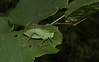 Bioblitz Katydid Close-up (Bonnie Ott) Tags: katydid
