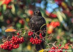 Who Me? (davidrhall1234) Tags: commonblackbirdturdusmerula blackbird birds bird birdsofbritain beak berry countryside goldenacrepark nature nikon outdoors world wildlife woodland feather