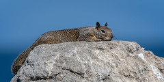 I'm kinda tired... (craig goettsch) Tags: pacificgrove californiagroundsquirrel squirrel mammal wildlife nikon d500 nature blue