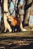 キタキツネ (YUSHENG HSU) Tags: fox vulpes animals zao village shiroishi miyagi japan wild nature closeup mammal furry fur famous scenic tourist attraction sightseeing area place spot beautiful cute lovely adorable red 狐 キタキツネ きたきつね 北狐 動物 野生 野生動物 蔵王キツネ村 蔵王 宮城 日本 自然 キツネ きつね かわいい 東北 宮城県 陸の哺乳類 哺乳類 陸上動物 稲荷 白石市 イヌ科 イヌ亜科 キツネ村 生物 お稲荷さん ペット 仙台 生き物 東北地方 赤色 観光地 観光 可愛い 旅行 名所 観光名所 旅 観光スポット 毛皮で覆われた 毛並 毛並み 毛皮 有名な きれい 綺麗 美しい