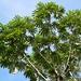 Pumpwood Tree (Cecropia sciadophylla)