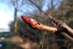 Horse Chestnut bud (Baractus) Tags: horse chestnut john oates earlswood lakes warwickshire uk